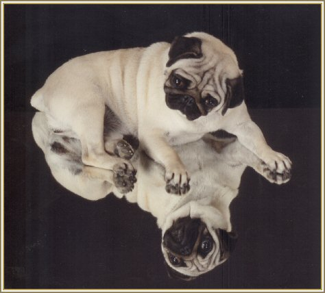 Welcome to Caravelle Pugs